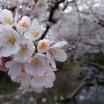 川崎市多摩区のお花見スポット!宿河原のお花見マップ
